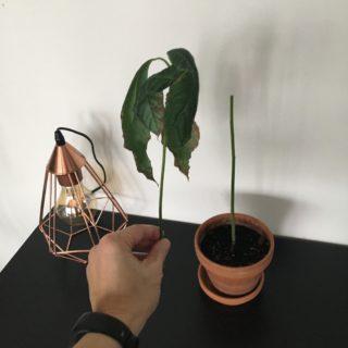 Min nu knap så høje avocadoplante