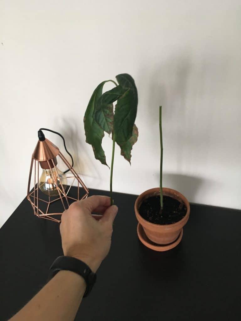 Avokado plante