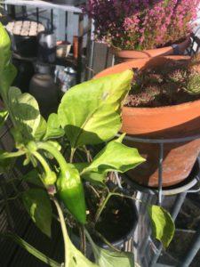Vores peberfrugtplante er gået i udbrud