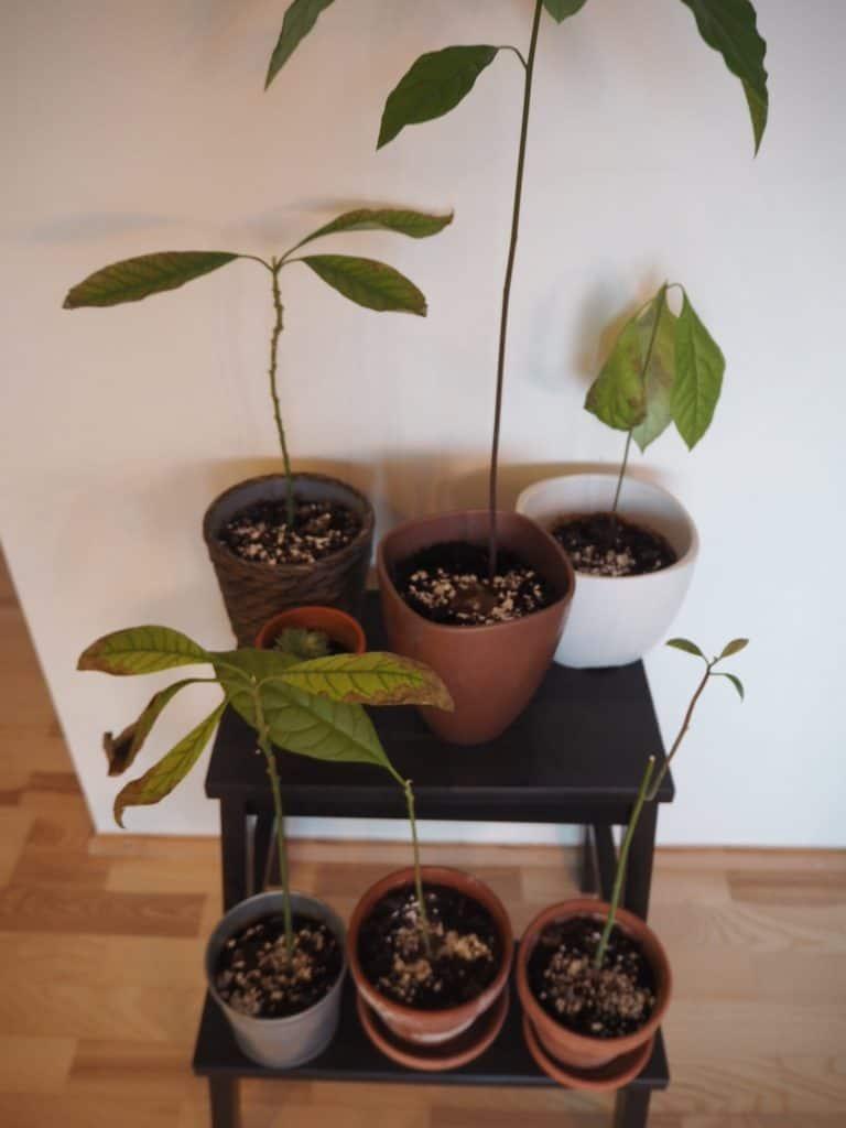 Avocadoplanterne har nu fået gødning i form af kaffegrums og æggeskaller