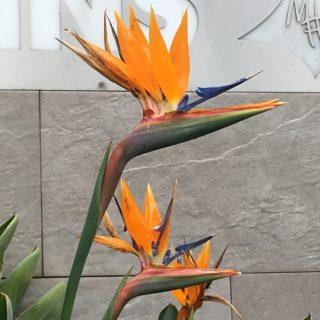 Smuk gul (påfugle)blomst