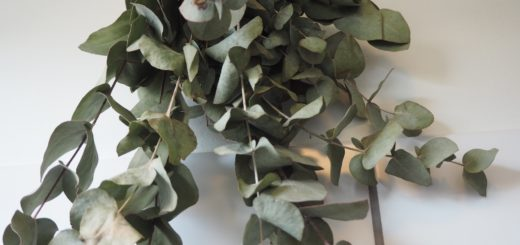 Eucalyptusen har smukke blå grønne blade