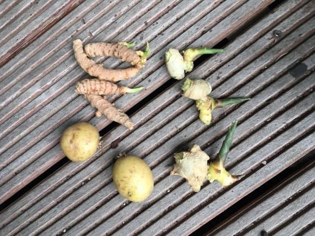 Ingefær, gurkemeje og kartofler med spirer - klar til gendyrkning