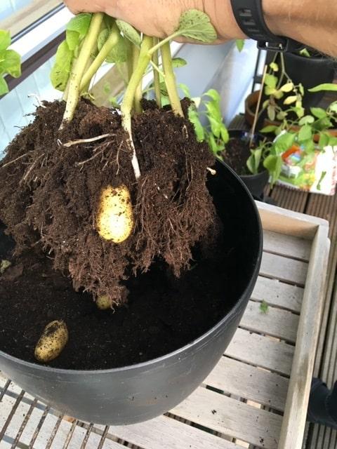 Min kartoffel dyrkning fra sidste sommer