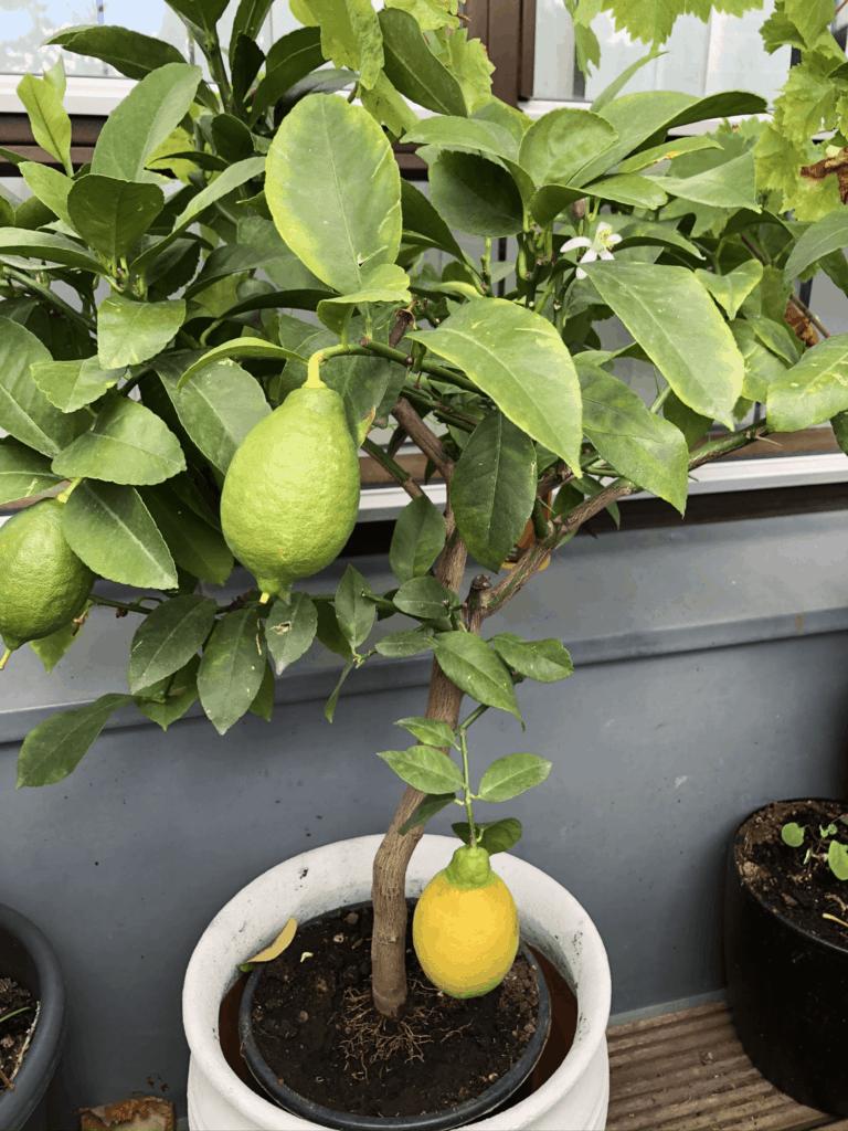 Vi er snart selvforsynende med citroner til vores Gin&Tonic - og nej træet har vi fået og ikke selv groet
