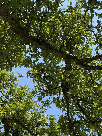 Et kig op mellem æblegrene på en blå himmel