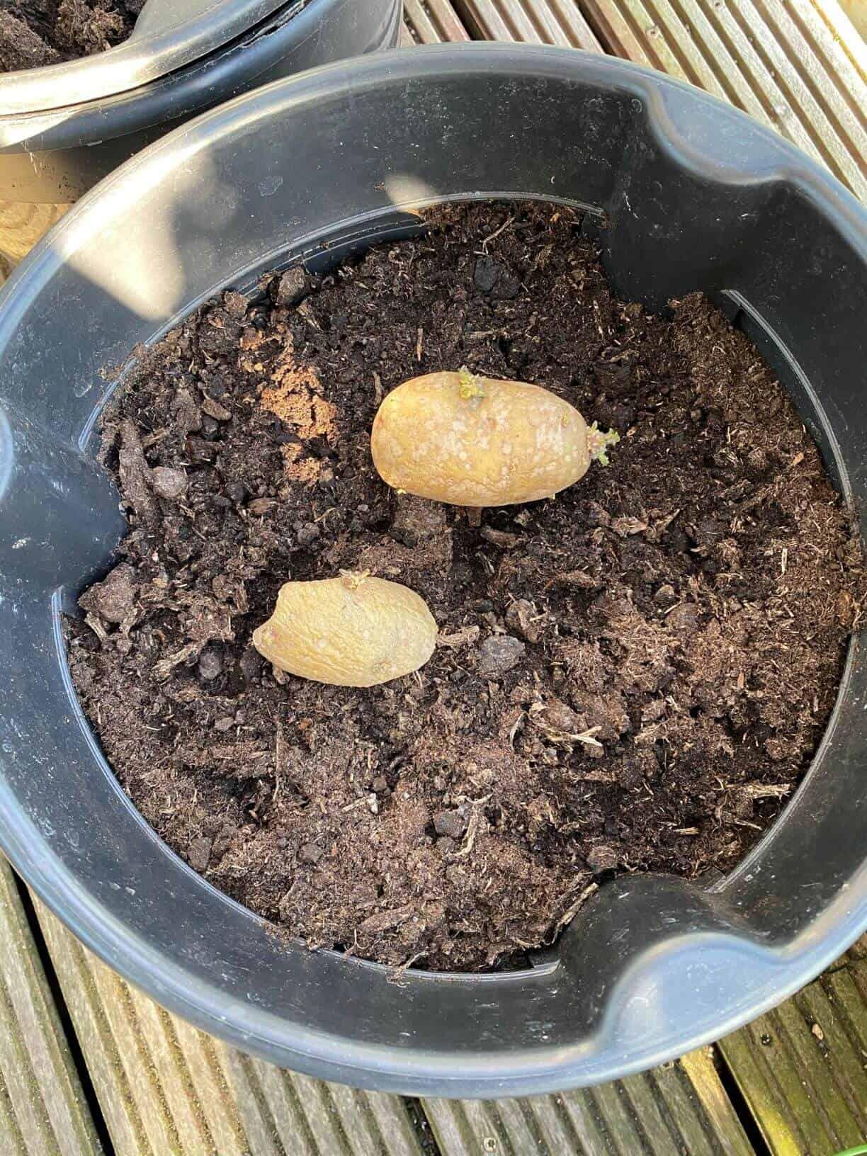 De her spirende kartofler skulle gerne blive til flere