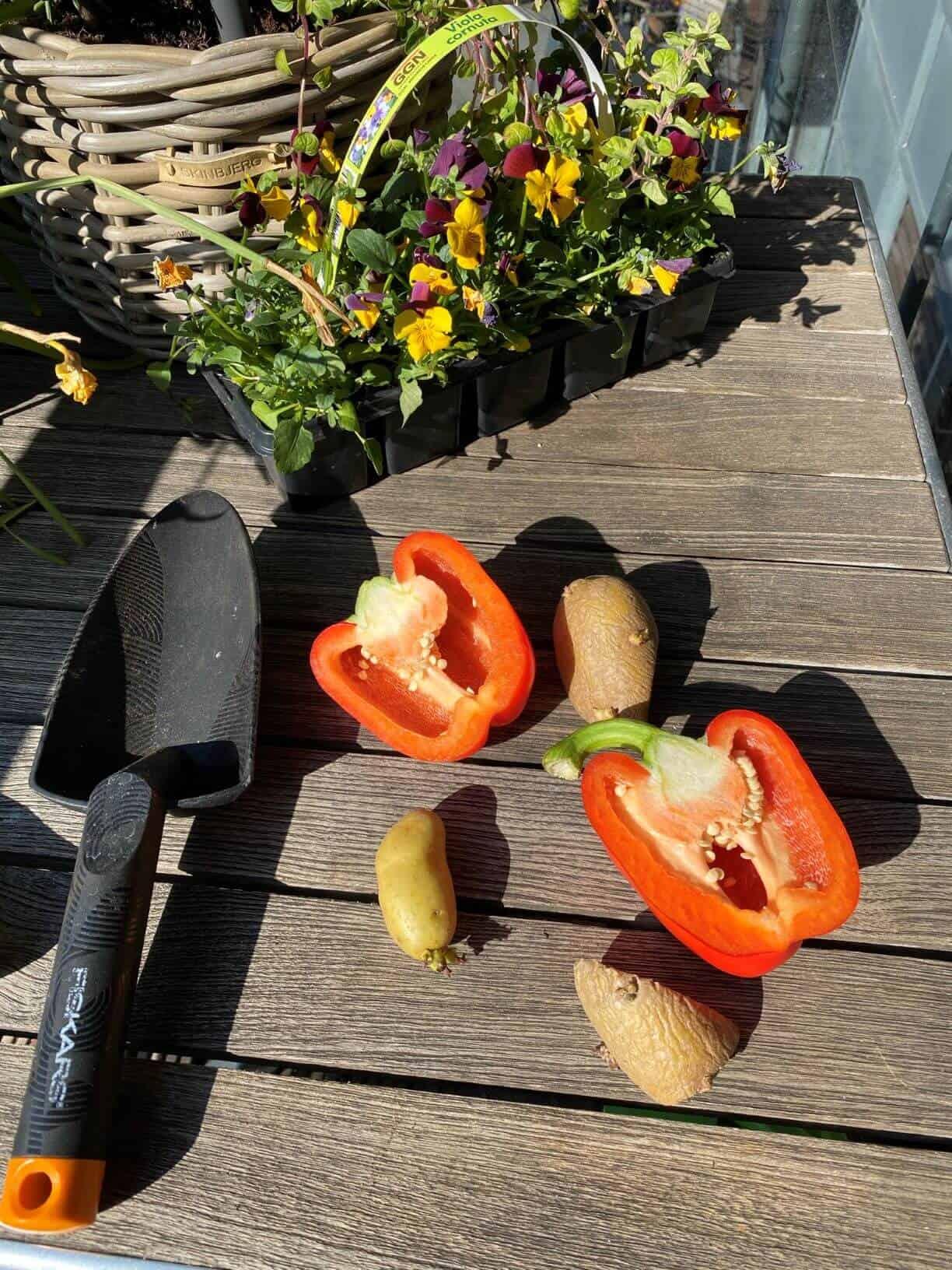 Vi starter med kartofler og rød peber i vores altan køkkenhave