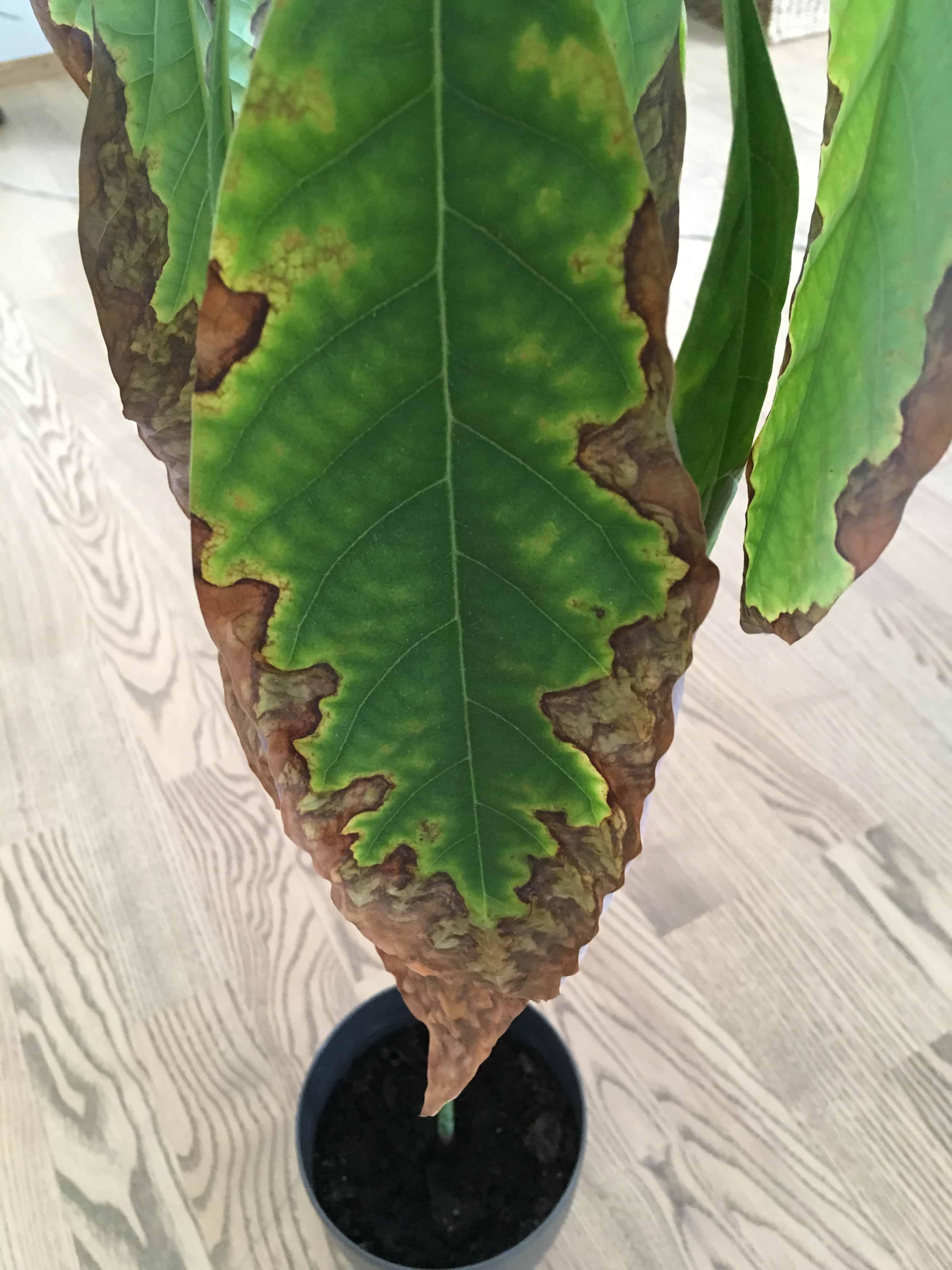 Brune blade