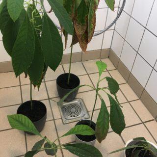 Håber et ugentlig brusebad afhjælper brune blade