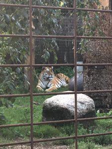 Doven tiger