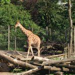 Fik sagt hej til en giraf i Odense Zoo