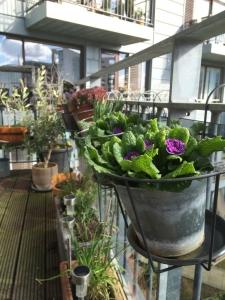 Forårsklargøring af terrassen med primula