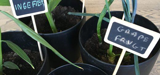 Gendyrkning af grøntsager update