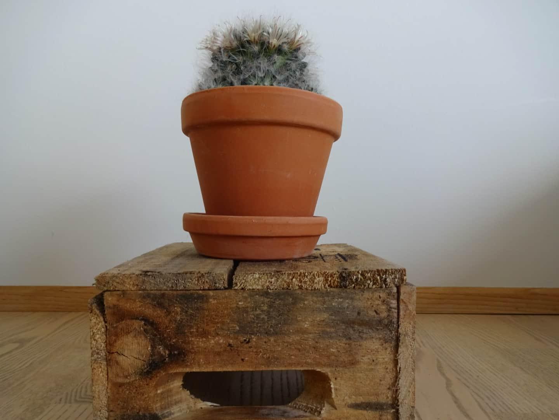 Kaktus med blomst
