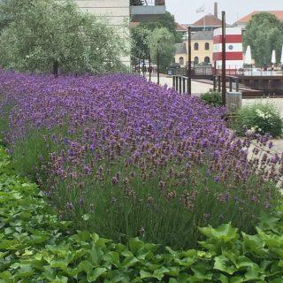 Lavendelbed med havnebassinet i baggrunden