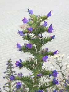 Lilla blomster ved EAL