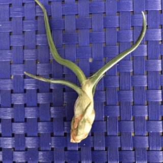En af mine små Tillandsia planter