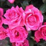 Lyserøde roser fra HCA