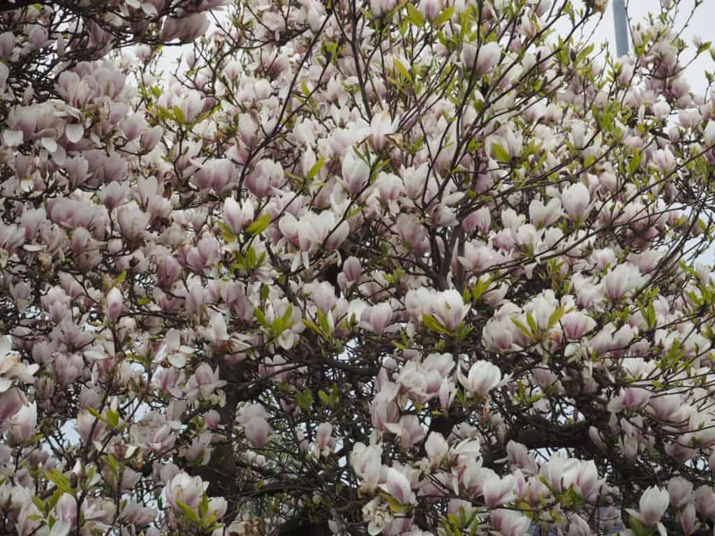 Blomstrende magnoliatræ