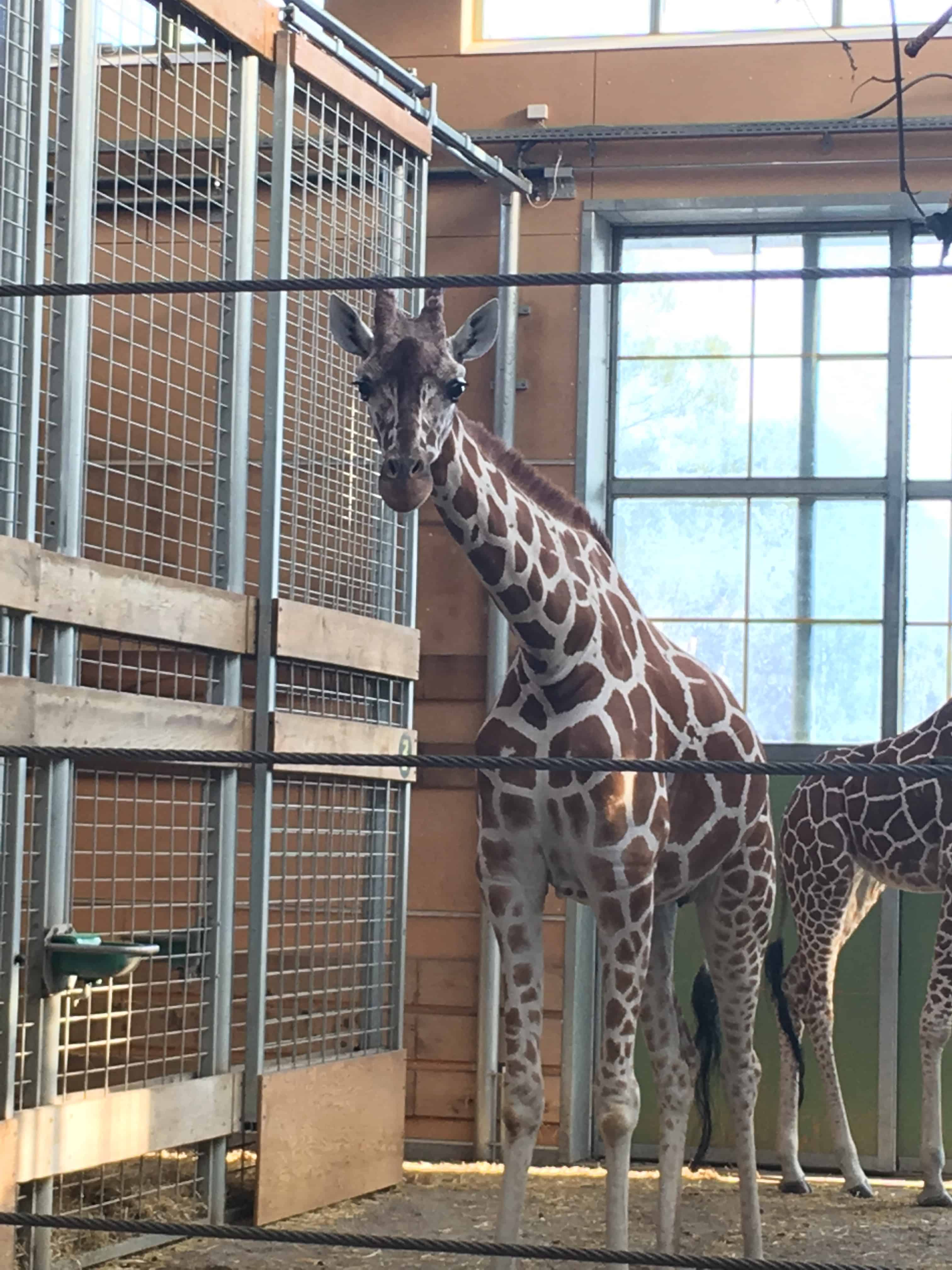 Nysgerrig giraf