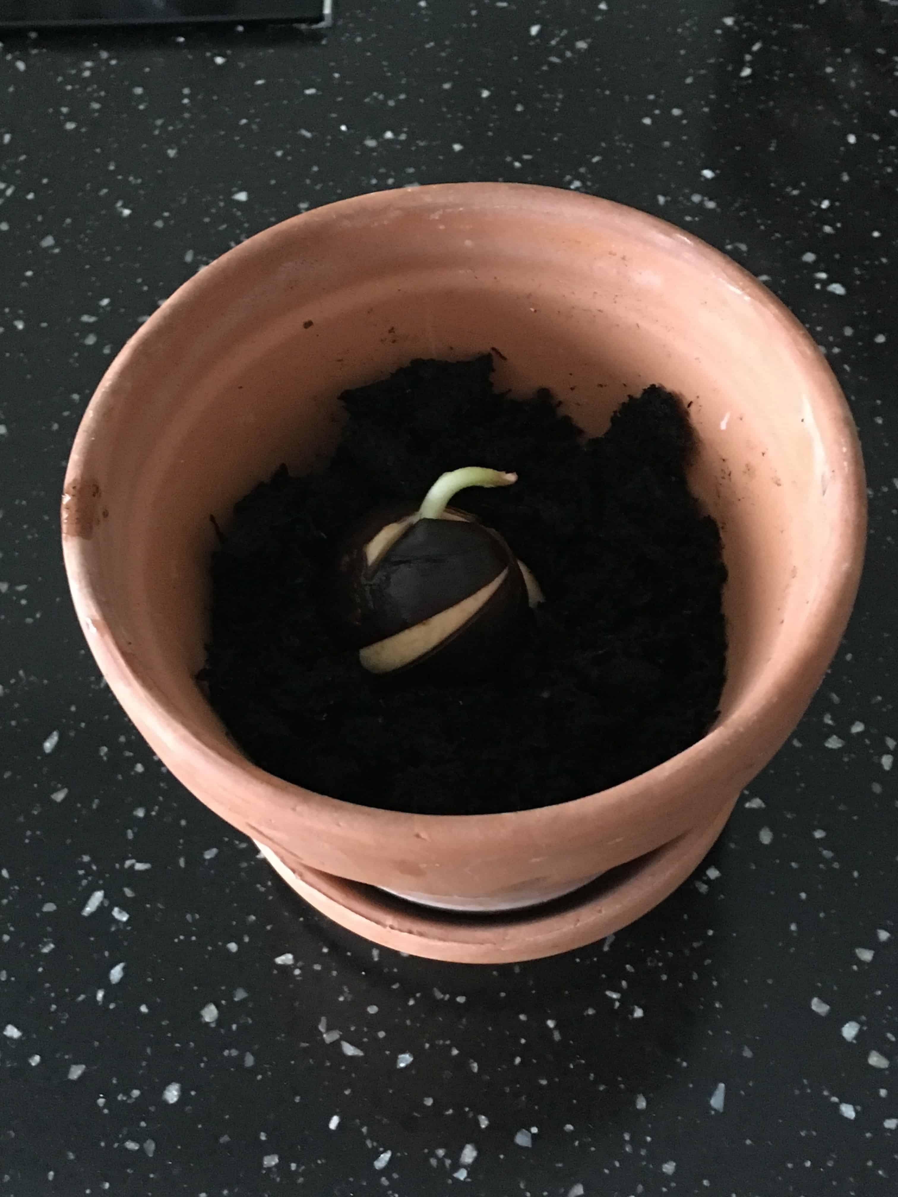 Så blev det tid til at at plante den spirende avocado sten i en potte
