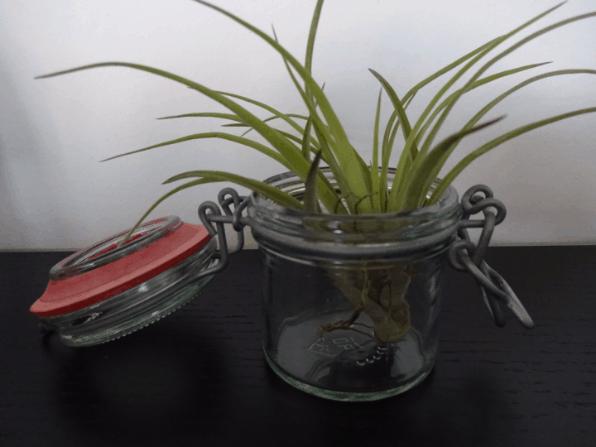 Tillandisa i patent glas uden pyntesten