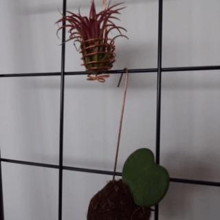 Tillandsia sammen med planteplanet