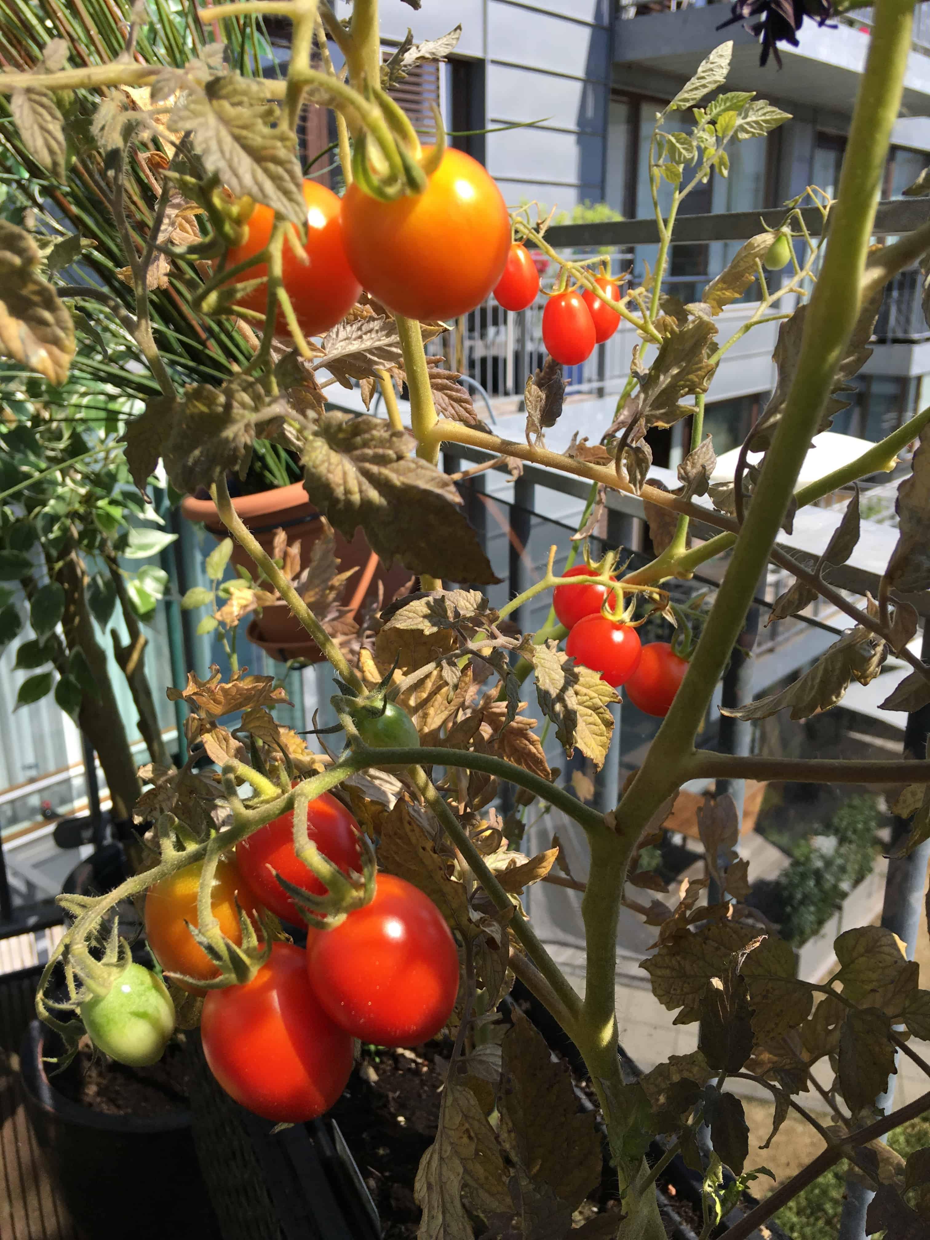 Tomater i hele farveskalaen