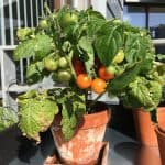 Vores lille tomatplante