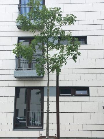 Træ i Englandsgade