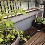 Forrest tomatplanten og altankassen med iceberg og løg bunde