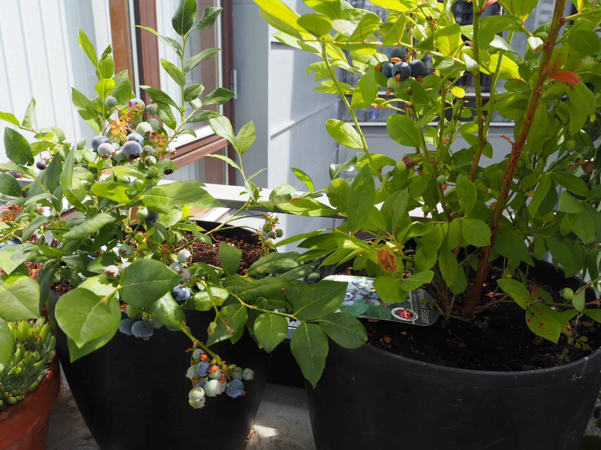 Vores 2 blåbær