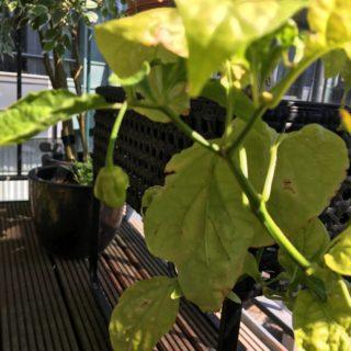 Vinteren har været lidt hård ved vores chili plante, men der er en enkelt på vej