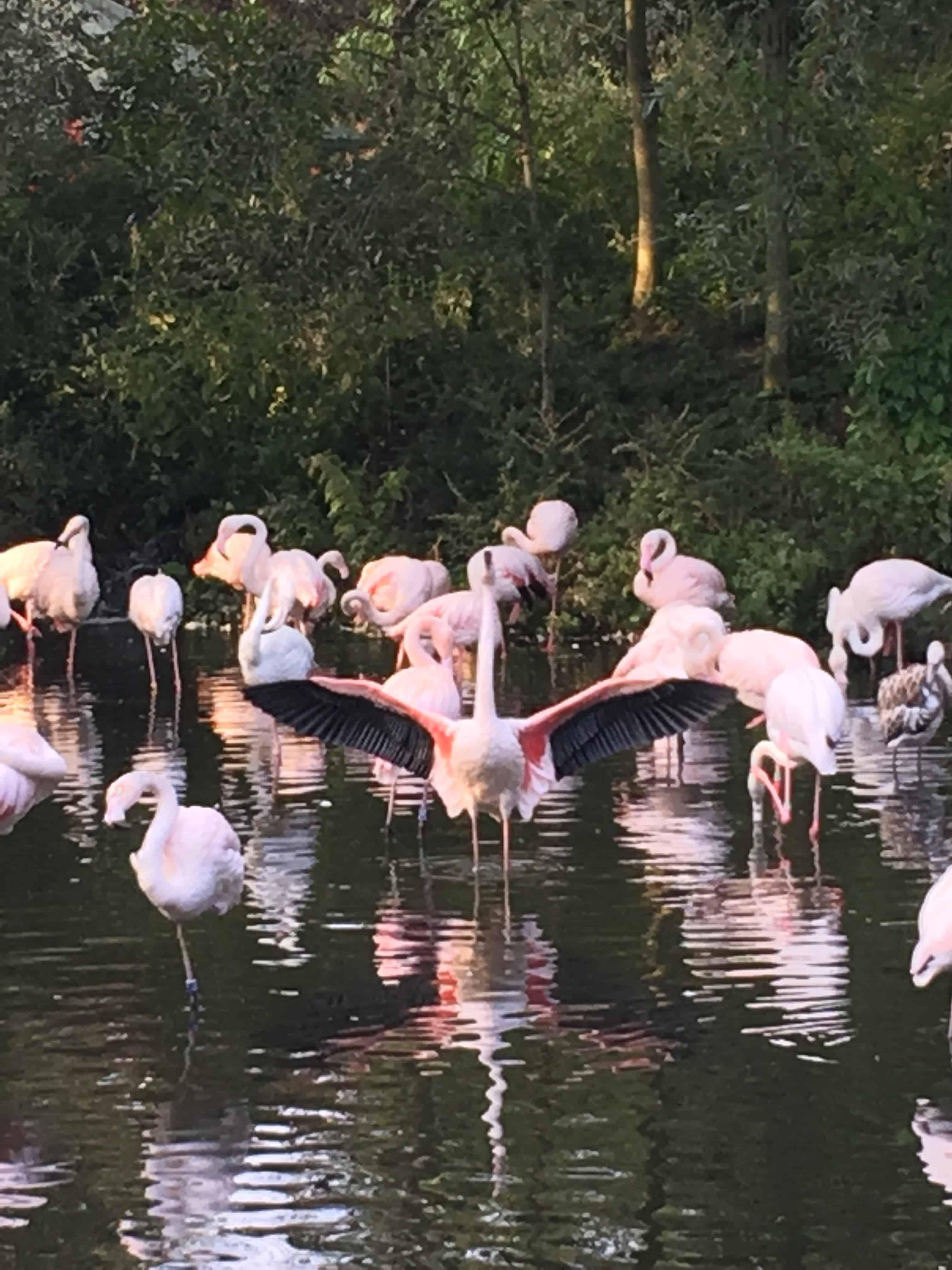 Lyserøde flamingoer