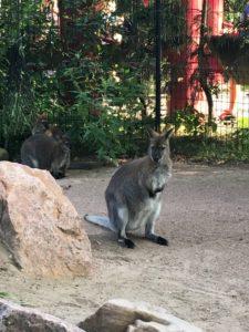 Sød kænguru