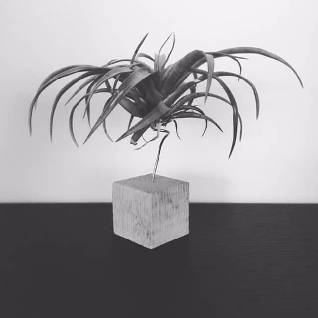 Min sorthvide luftplante