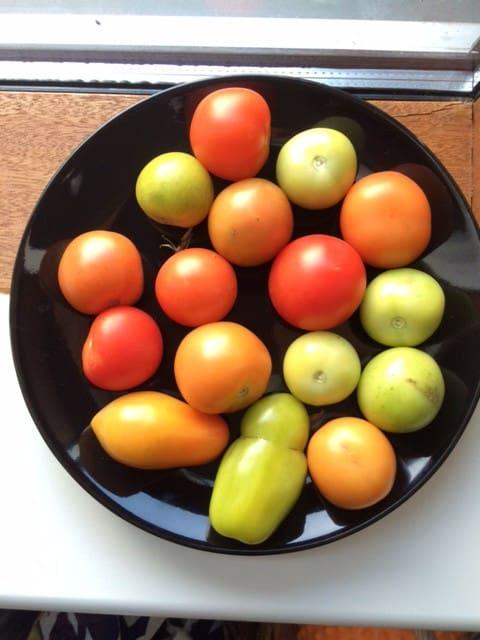 Tomatdyrkning på terrassen